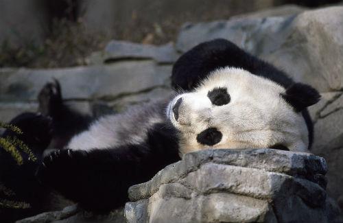 caza furtiva oso panda
