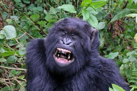 desaparicion gorilas