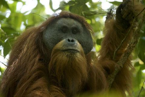 descubierto Orangutan de Tapanuli