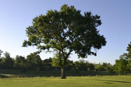 especie pino longevo