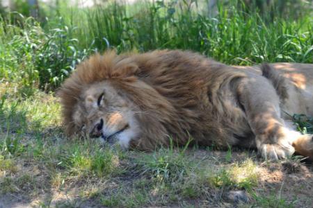 leon en peligro de extincion