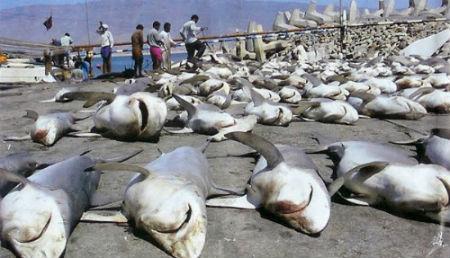 pesca ilegal tiburon