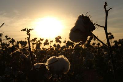 Impacto ambiental del cultivo de algodon